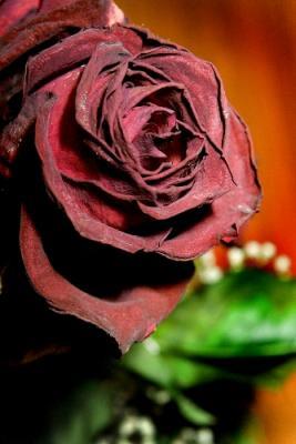 ¿Y qué harán las rosas sin tu presencia?